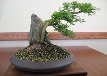 10 pasos para un buen bonsái