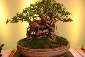 Cosas a evitar al cultivar su árbol de bonsái