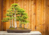 Guía de cuidado del árbol de bonsái del ciprés calvo (Taxodium distichum)