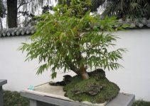 Guía de cuidado del árbol de bambú Bonsái (Nandina domestica)