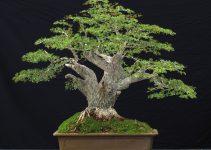 Guía para el cuidado del árbol de bonsái de aceitunas negras (Olea europaea)