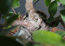 Cómo podar los brotes de los árboles de bonsái