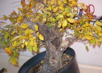 Cómo cuidar un árbol de bonsái si se vuelve amarillo