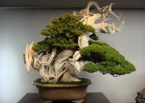 Bonsai Longevidad: Expectativa de vida del árbol de bonsái