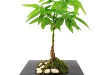 Guía de cuidado de los árboles de dinero Bonsai (Crassula ovate)