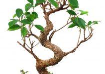 Cómo cultivar árboles de bonsái a partir de esquejes