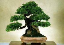 Clasificación del tamaño del árbol de los bonsáis   Jardinero del árbol de los bonsáis