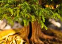 Cómo mantener la temperatura de su árbol de bonsái