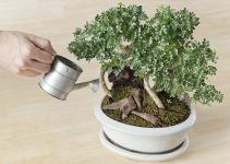 Cómo regar los árboles de bonsái