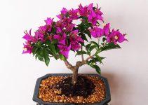 Guía para el cuidado de los árboles de buganvilla (Bougainvillea glabra)