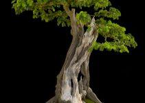 Árboles Bonsái de hoja ancha | Jardinero de árboles Bonsái