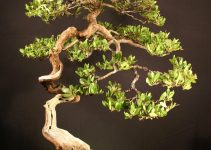 Guía para el cuidado del árbol de bonsái Buttonwood (Conocarpus erectus)