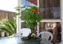 Guía para el cuidado del árbol de bonsái de la madreselva del Cabo (Tecoma Capensis)