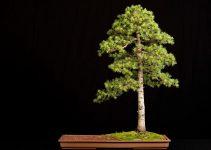 Guía para el cuidado de los árboles de bonsái de cedro (Cedrus Libani)
