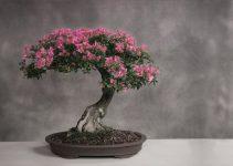 Guía de cuidados del árbol de bonsái en flor de cerezo (Prunus serrulata)