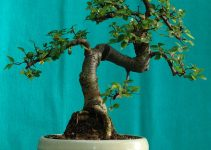 Los mejores árboles de bonsái para interiores | Jardinero de árboles de bonsái