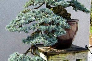 Árboles Bonsái Coníferos | Jardinero de árboles Bonsái