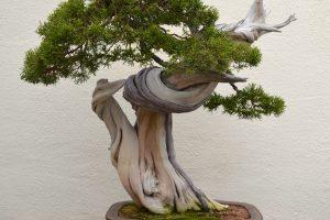 ¿Qué son las técnicas de los bonsáis de Deadwood?