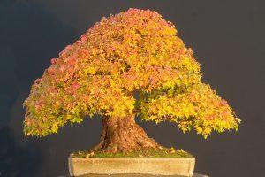 Árboles Bonsái de hoja caduca | Jardinero de árboles Bonsái
