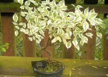 Guía de cuidado del árbol de bonsái Dogwood (Cornus florida)