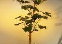 Guía de cuidado del árbol de bonsái de la vid (Vitis vinifera)