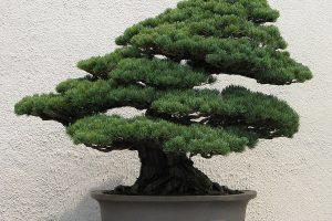 Árboles Bonsái siempre verdes | Jardinero de árboles Bonsái