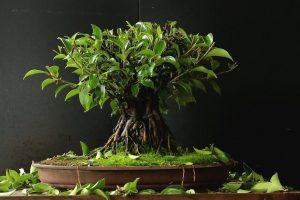 Árboles Bonsái Ficus | Jardinero de árboles Bonsái