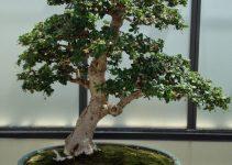 Guía de cuidado del árbol de bonsái del té Fukien (Carmona retusa o Ehretia microphylla)