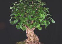 Guía de cuidado del árbol de Bonsái Ginkgo (Ginkgo biloba)