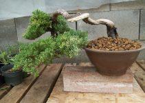Guía de cuidado del árbol de bonsái de enebro verde (Juniperus procumbens)