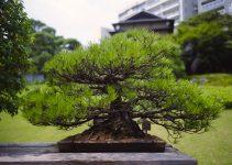Los 5 árboles de bonsái más antiguos del mundo