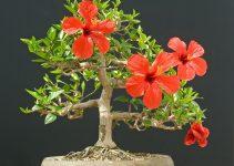 Guía de cuidado del árbol de hibisco (Hibiscus Sinensis)