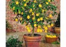 Cómo hacer un bonsái en el limonero