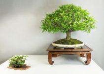 Cómo exhibir su bonsái usando soportes