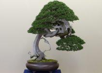 Cómo identificar los árboles de bonsái