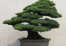 Cómo hacer un árbol de bonsái