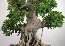 Cómo podar un bonsái de ficus para que prospere