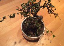 Cómo rescatar un árbol de bonsái moribundo