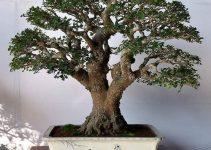 Cómo revivir las hojas perdidas de los ficus bonsáis