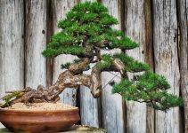 Cómo usar un soporte/mesa para exhibir su bonsái al aire libre