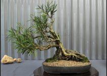 Cómo cuidar los árboles de bonsái de interior