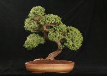 Guía de cuidado del árbol de bonsái de jade (Crassula ovata)