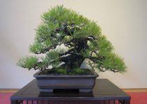 Guía para el cuidado de los pinos bonsái