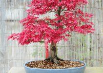 Guía de cuidado del árbol bonsái de arce japonés (Acer palmatum)