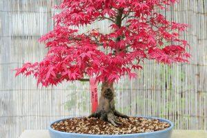 Tipos de árboles Bonsái | Jardinero de árboles Bonsái