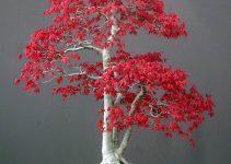 El mejor árbol de bonsái para principiantes