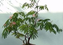 Guía de cuidado del árbol de bonsái Mimosa (Albizia julibrissin)