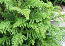 Guía de cuidado del árbol de bonsái de pino de la isla de Norfolk (Araucaria heterophylla)