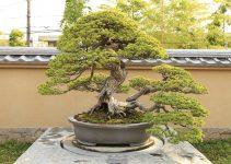 Cómo cuidar los árboles de bonsái al aire libre