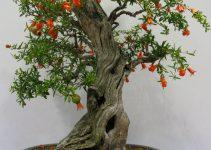 Guía para el cuidado del árbol de granada (Punica Granatum)